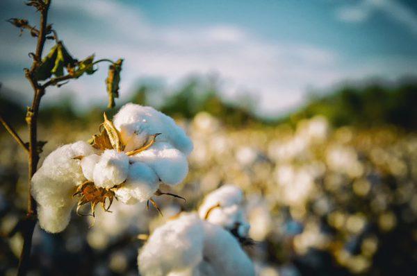 Flor de algodón. Fuente: Pixabay (bobbycrim).