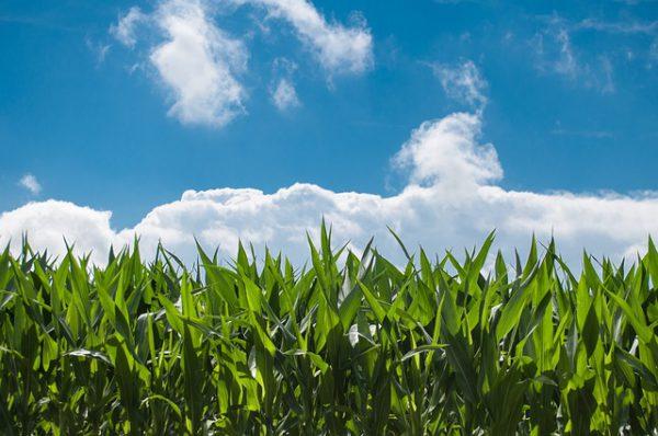 Cultivo de maíz. Fuente: Pixabay.com